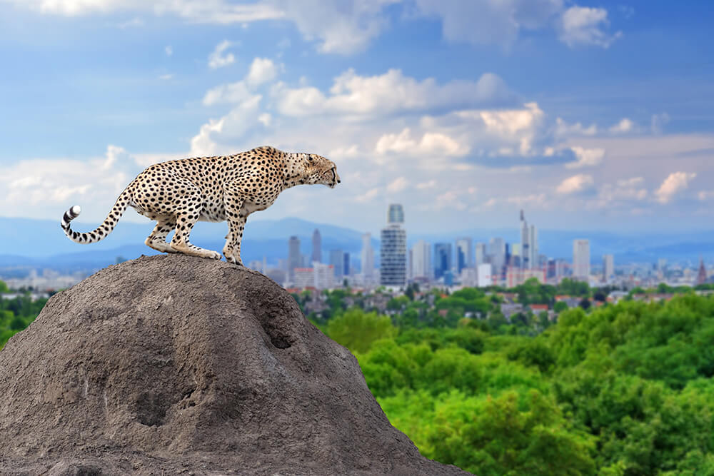 Cheetah sitting on rock  (1)